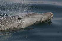 Tatooine, ein GRD-Patendelfin aus Peru by Gesellschaft zur Rettung der Delphine e.V.